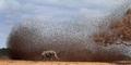 Gambar Menakjubkan! Serbuan Ribuan Burung Menyerang Gajah