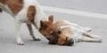 Kesetiaan Seekor Anjing Menemani Pasangannya yang Tertabrak Mobil di China