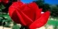 6 jenis Bunga yang Menyehatkan Tubuh