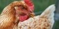 Ciri-Ciri Manusia Terserang Virus Flu Burung Jenis Baru Clade 2.3