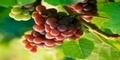 Khasiat Buah Anggur Untuk Melindungi Kulit Dari Kanker