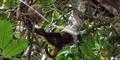 Ular Boa Menelan Monyet di Atas Pohon