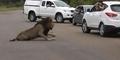Jangan Ditiru! 2 Anak Kecil Potret Singa Liar Dari Dekat