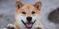 Maru, Anjing Paling Bahagia dari Jepang