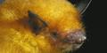 Ditemukan Spesies Langka Kelelawar Berbulu Emas