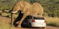 Konyol, Gajah Afrika Asyik Menggaruk Badan di Mobil VW Polo
