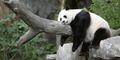 Panda di China 'Akting' Hamil Agar Dimanja dan Hidup Enak