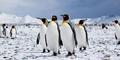 Ditemukan Fosil Penguin Lebih Tinggi dari Manusia