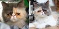 Pixie, Kucing Persia Berwajah Paling Sedih Sedunia