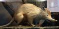 Tikus Raksasa Mirip Babi Hebohkan Warga Kutai Timur