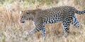 Wanita India Bunuh Macan Tutul dengan Sabit dan Cangkul