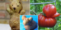 Foto Buah dan Sayur Berbentuk Aneh Seperti Hewan