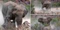 Foto Pertarungan Badak Melawan Gajah di Afrika