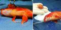 Ikan Mas di Australia Jalani Operasi Angkat Tumor Otak