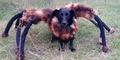 Laba-Laba Raksasa Berkepala Anjing Teror Warga Polandia
