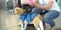 Sherlock, Anjing Pintar Karyawan Maskapai Penerbangan