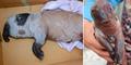 Aneh, Babi di China Terlahir Mirip Gajah