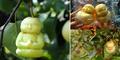 Buah Pir Berbentuk Bayi Buddha Kreasi Petani China