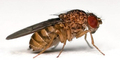 Lalat Dapat Sembuhkan Penyakit Manusia di Masa Depan