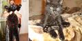 Maximus, Kucing Berbobot 10 Kilogram asal Rusia