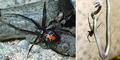 Teror Laba-Laba Mematikan Redback Spider Hantui Warga Jepang
