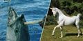 Tunicorn, Ikan Tuna Bertanduk Unicorn Ditangkap di Australia