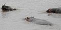 Video Kuda Nil Selamatkan Nyawa Rusa dari Buaya Kelaparan