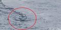 Video Penampakan Monster Laut di Islandia Dinyatakan Asli