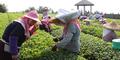 Gaji Telat 2 Bulan, Buruh Kebun Teh Bunuh Majikan