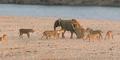 Video Anak Gajah Lolos dari Kawanan Singa Kelaparan