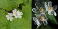 Diphylleia Grayi, 'Bunga Tengkorak' Berubah Transparan Saat Basah