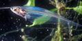 Ikan Bersisik Transparan Ditemukan di Benua Antartika