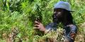 Jamaika Sahkan UU Legalisasi Ganja
