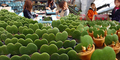 Sambut Valentine, Jepang Siapkan Kaktus Bentuk 'Cinta'