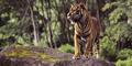 Harimau Seret Mayat Manusia Gegerkan Warga Gunungkidul