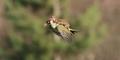 Heboh Foto Burung Pelatuk Gendong Musang