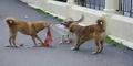 Lihat Anjing Makan Bayi di Jembrana, Bule Jerman Histeris