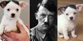 Lucunya Anjing Chihuahua Berwajah Mirip Hitler