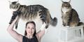 Ludo, Kucing Paling Gembrot di Inggris Bobot 11 Kg