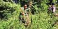 100 Pohon Ganja Ditanam di Pekarangan Warga Lumajang