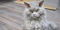 Pompous Albert, Kucing Berwajah Kejam Populer di Instagram