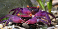 Uniknya Kepiting Vampir di Jawa