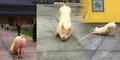 Video Babi Raksasa Bersujud di Kuil Buddha Hebohkan Tiongkok