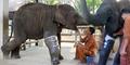 Video Mengharukan Gajah Buntung Dapat Kado Kaki Palsu