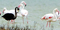 Ditemukan Burung Flamingo Hitam