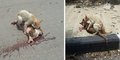 Kucing Pakistan Tolong Kucing Lain Korban Tabrak Lari