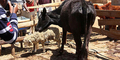 Sapi di Kenya Jadi Predator Buas, Gemar Santap Domba