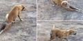 Video Anjing Cerdik Nyamar Cacat Buat Nyari Makan