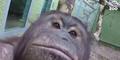 Cherie, Orang Utan yang Gemar Selfie