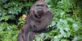 Julia, Gorila Betina Mati Diserang Pejantan dengan Brutal